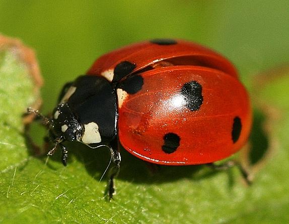 ladybird on strawberry leaf