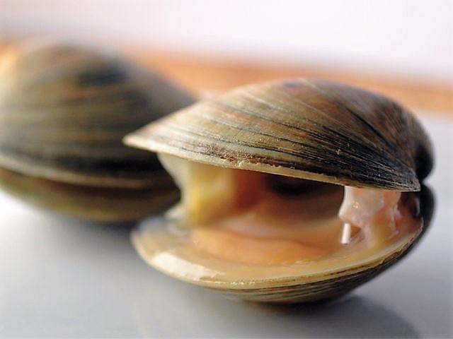 cherrystone or hardshell clam